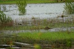sa couve meme au lac de la guanguise( aude) (alaincousinet) Tags: nature canon sigma vol alain animaux aude volatile pouledeau retenuedeau canoneos5dmarkiii reservedeau etenduedeau acousinet sigma150600sport