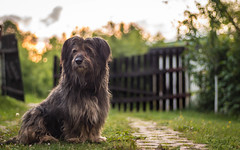 Maxi in the sunset (adnanefs) Tags: sunset shadow dog sun zeiss dark still colorful sitting wide calm maxi