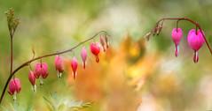 flowers little heart (augustynbatko) Tags: park flowers red flower macro nature garden bokeh littleheartflowers
