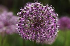 Kugellauch (ingrid eulenfan) Tags: macro nature natur pflanze makro 90mm allium ameise sternkugellauch kugellauch
