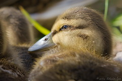 RG_279 ( Ed Lee) Tags: park morning portrait baby color cute green bird water grass contrast duck spring nikon 7100 bokeh outdoor feather richmond chick fowl avian 200500 56e