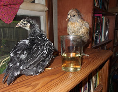 Weetzie Bat and Miss Hazel Handkerchief and a glass of wine on the bookshelf (benchilada) Tags: chickens chicken glass wine bat bookshelf hazel handkerchief miss weetzie chickum chickums