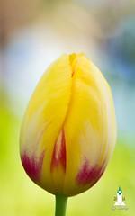 Colors of spring (hartp) Tags: flower macro bayern deutschland spring tulip blume nahaufnahme frühling tulpe straubing hartp