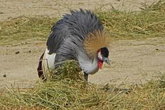 2016.05.07.040 PARIS - Zoo - Grue couronne (alainmichot93) Tags: paris france seine ledefrance boisdevincennes oiseau 2016 gruecouronne parczoologiquedeparis paris12mearrondissement