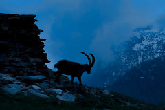 The lonely ibex (marypink) Tags: mountains silhouettes piemonte stambecco alpineibex parconazionalegranparadiso ceresolereale valleorco nikkor80400mmf4556 nikond7200