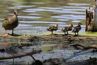 Mallard ducklings by Russ Allison