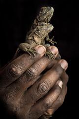 Young Jamaican iguanas (Global Wildlife Conservation) Tags: caribbean criticallyendangered cycluracollei jamaica jamaicaniguana oldharbourbay portlandbightprotectedarea savegoatislands afternoon animal babies beach coast day daytime endangeredspecies juvenile portrait reptile threatened threatenedspecies twoanimals wildlife young