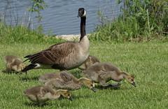 Geese, Herrick Lake. 3 (EOS) (Mega-Magpie) Tags: park usa baby lake green nature grass america canon outdoors eos geese illinois outdoor wildlife dupage goose il wheaton herrick 60d
