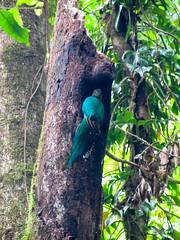 """La Réserve de Monteverde: un Quetzal Resplendissant femelle <a style=""""margin-left:10px; font-size:0.8em;"""" href=""""http://www.flickr.com/photos/127723101@N04/26911777286/"""" target=""""_blank"""">@flickr</a>"""