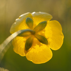 rear (w-venne) Tags: flower buttercup blossom pflanze meadow wiese ranunculus gelb ort hahnenfus