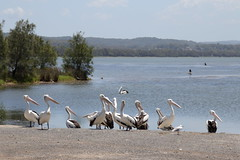 IMG_0576 (biqua) Tags: pelican nsw theentrance