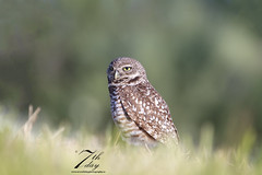 In the grass (Seventh day photography.ca) Tags: bird animal spring unitedstates florida wildlife raptor owl wildanimal predator birdofprey carnivore burrowingowl