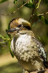 Kookaburra 5 (wildharps) Tags: camping sunlight bird bush natural native wildlife feathers australia nsw kookaburra