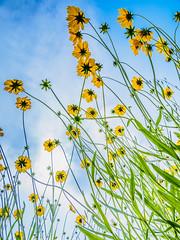 PhoTones Works #7883 (TAKUMA KIMURA) Tags: plant flower nature yellow japan landscape scenery air olympus jp    cosmos   okayama kimura     sulphureus takuma  a01    photones