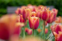One of them (Photo-LRC) Tags: pink paris flower floral fleur rose plante de bokeh parc champ tulipe tulipes profondeur