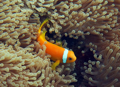 Blackfoot Anemonefish (dfinney23) Tags: dfinney23 2016 maldives snorkeling anemonefish anemone fish underwater sea