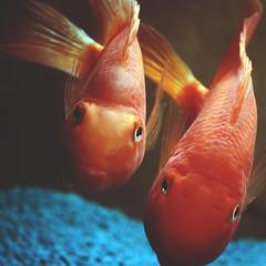 138   366   V (Randomographer) Tags: blue orange fish water swim 50mm living tank koi carp alive common domesticated 138 366 nishikigoi  carpio cyprinus haematopterus project366