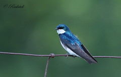 *** Hirondelle bicolore male / Tree Swallow male (ricketdi) Tags: blue bird ngc bleu npc hirondelle treeswallow tachycinetabicolor coth hirondellebicolore coth5 sunrays5