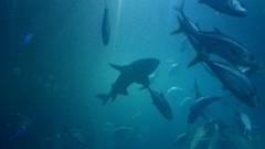 Plymouth Aquarium - Predators Tank (jack_lanc) Tags: plymouth acquarium wildlife fish sharks conservation marine biology devon predator predators