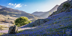 Carpet of Blue (tristantinn) Tags: uk morning flowers blue light england lake mountains green nature outside spring colours unitedkingdom district explore cumbria fells gb keswick buttermere rannerdale allerdaledistrict