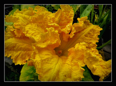 Krbisblten (karin_b1966) Tags: plant nature garden natur blossoms pflanze garten blten 2016 pumpkinflowers yourbestoftoday krbisblten
