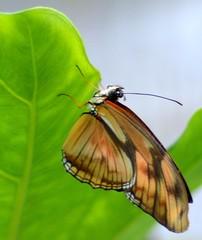 dryas iulia closed wings upsidedown (brigitte.watz) Tags: butterfly insect insekt orangebutterfly vliegendehollander flambeau dryasiulia juliabutterfly juliaheliconian theflame longlivedanddayactivebutterfly picturefromabutterflyhouse