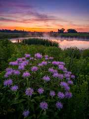 Misty Morning (souravzzz) Tags: flowers ohio sky mist reflection green nature water colors grass clouds sunrise purple meadow wildflowers bog