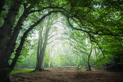 Fellbrigg Woods - 30/05/2016 (Matthew Dartford) Tags: morning trees england mist tree overgrown leaves silhouette misty fog backlight forest woodland leaf woods colorful branch framed branches norfolk foggy frame trunk layers backlit colourful curve twigs depth atmospheric eastanglia happisburgh felbrigg breakinglight lowlevelmist