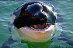 Freya (Kataaku) Tags: freya orque orca killer whale shamu spectacle show lagoon female marineland antibes france 2016 animal marine mammifre marin ocans ctac dauphin nikon d5100 reflex photo photographie animalire caroline catenacci