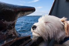 Sea dog (ghostwheel_in_shadow) Tags: ireland sleeping sea dog mammal coast europe unitedkingdom terrier coastal jackrussell northernireland ulster vertebrate antrim churchbay rathlinisland wiggo parsonrussell