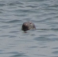 Sammy the seal (Brinders56) Tags: hilbreisland seal