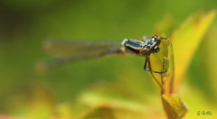 dragonfly3 (gshaun12) Tags: macro nature animals bug dragonfly bokeh wildlife insects fantasticnature macrodreams