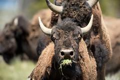 BisonHump (MrDennisO) Tags: bison sex hump eyes bulging