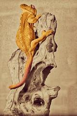 Camaleon cambiacolor (carlosfm6) Tags: colour animal branch colours tronco bicolor camaleon chamaleon warmtones