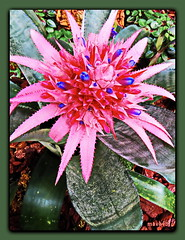 Aechmea fasciata - Lanzenrosette (Martin Volpert) Tags: flower fleur flor pflanze blomma bromeliaceae blume fiore blte blomster virg lore bloem blm iek floro kwiat flos ciuri kvet kukka cvijet flouer blth cvet zieds is floare aechmeafasciata blome iedas mavo43 lanzenrosette