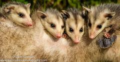 Opossum with Young (sjsimmons68) Tags: animals opossum favorites fav mammals lakeapopka orangeco fllocations