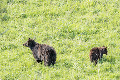 Mama and Baby (Brenda Gooder) Tags: blackbears mamaandbabyblackbear yellowstonepark