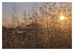 Moudros: a celebration of wheat at sunset (AurelioZen) Tags: europe greece limnos moudros sunset agricilture cereals graan korenveld aegean grain wheat backlight tegenlicht niftytwofifty