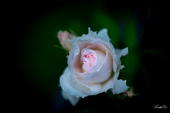 After Rain  (T.ye) Tags: raindrop rain rose pink flower plant deep field contrast outside ourdoor top angle