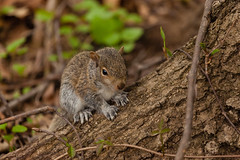 Young Eastern Gray Squirrel (Erin Cadigan Photography) Tags: usa baby brown tree nature animal america forest fur outside mammal outdoors grey rodent newjersey furry woods squirrel branch unitedstates natural north gray young nj ground eastern juvenile midwestern omnivorous carolinensis sciurus