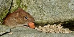 the little vole (Suzie Noble) Tags: wall garden mammal vole bankvole stonedyke strathglass struy