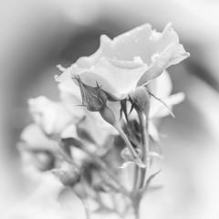 Roses in Mono (Explored) (lclower19) Tags: bokeh hmbt monochrome black white bw plant flower rose flora