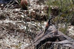 Chuckwalla Piestewa Peak Park AZ (artistwhite) Tags: arizona cactus mountain phoenix hiking trail overlooking chuckwalla
