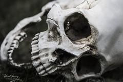 EL VIEJO MURRAY (Daniel JG) Tags: portrait green closeup canon eos skull muerte esqueleto boca calavera hierba craneo 600d