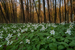 Meer (Rainer Schund) Tags: green nature forest spring nikon meer natur jungle grn bume hanami blten hainich nikond700 naturemasterclass natureexploring