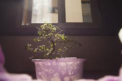 Solitario y pensativo rbol Bonsai. (www.rojoverdeyazul.es) Tags: ventana window rbol tree bonsai japanese japons hojas branches ramas leafs luz pequeo small planta plant autor lvaro bueno espaa spain madrid