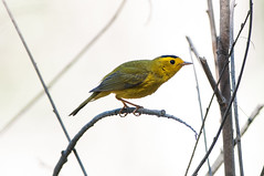 Guilty Look (martytdx) Tags: ca birds lifelist sandiego birding warbler songbird wilsonswarbler wilsoniapusilla parulidae wilsonia tijuanarivervalleyregionalpark tijuanarivervalleyregionalparkbirdandbutterflypark