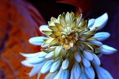 Hosta 'HansHoltiana' flower (HansHolt) Tags: flower macro canon petals 300d purple bokeh lila lilac buds hosta canoneos300d paars bloem knoppen bloemblaadjes canonef100mmf28macrousm hansholtiana