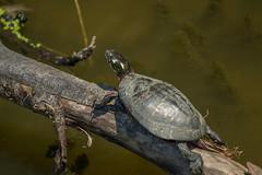 painted turtle (Black Hound) Tags: sony a500 minolta turtle paintedturtle johnheinznationalwildliferefuge johnheinznwr