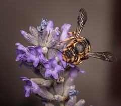 Lavender (MecaEPT) Tags: macro nature animal closeup canon insect handheld 60mm arthropod meca hymenoptera canonefs60mmf28usm canonina